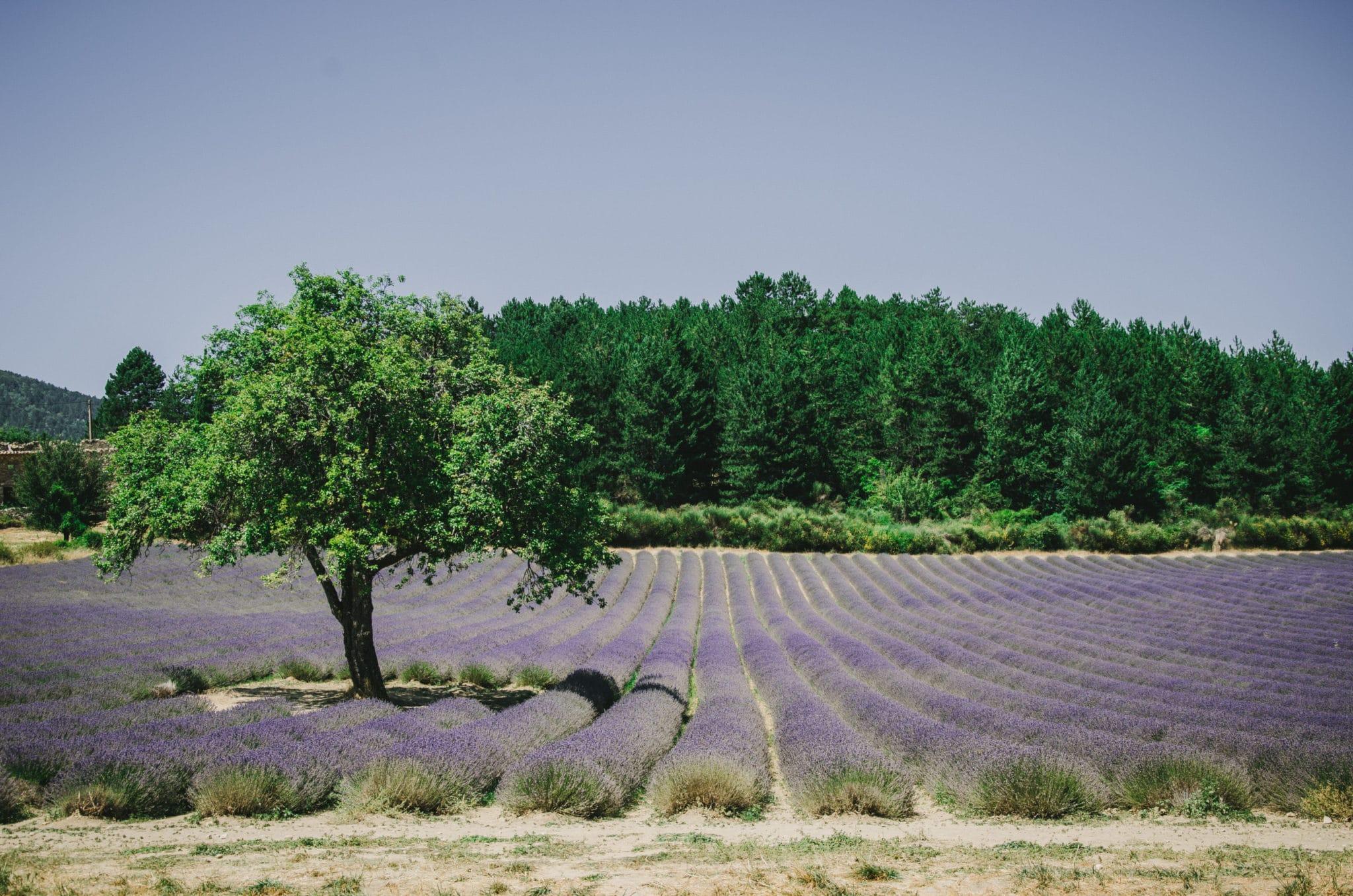 Arbre et champ de lavande Aurel