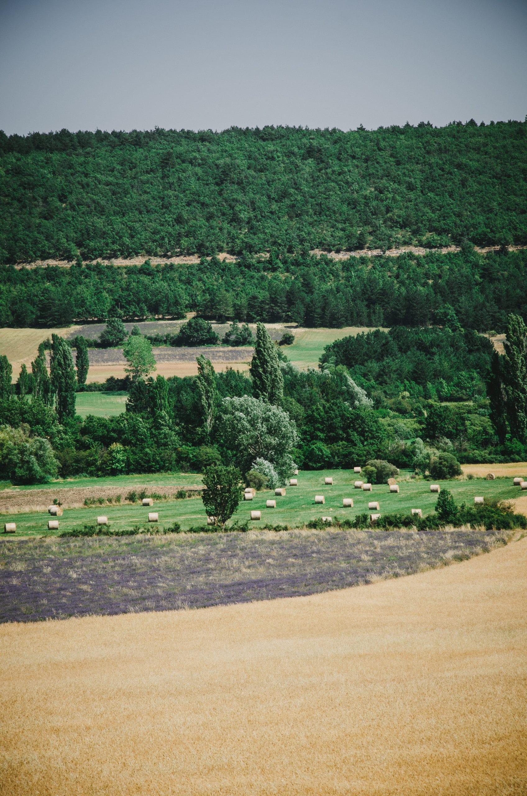 Champs de lavande et de blé Pays de Sault
